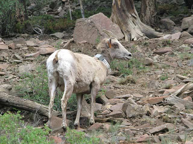 Alpine Loop Bighorn Sheep Ewe Cinnamon Pass Colorado