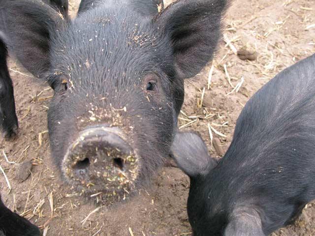 Mulefoot Pigs at Diggin Dust Heritage Hog Farm