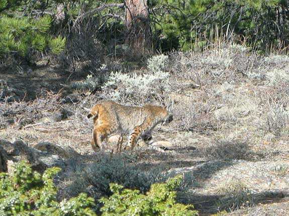 Bobcat at Jerry's Acres Red Feather Lakes, CO