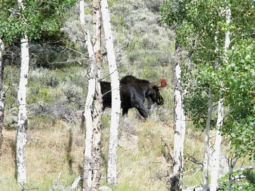 Crystal Lakes Moose