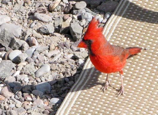 Western Cardinal Big Bend Ranch State Park