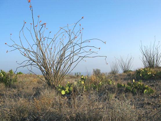 Black Gap WMA Texas Spring Ocotillo Bloom