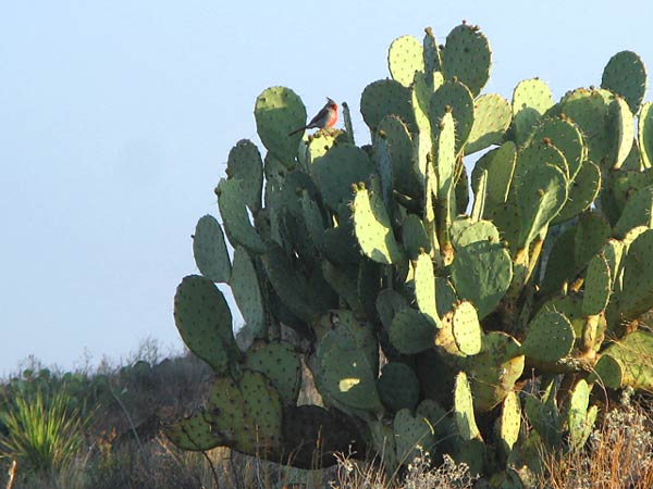 Black Gap WMA Texas Spring Bird on Cacti
