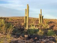 Saguaro Cactus Gila Bend Arizona
