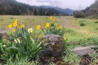 Wild Dafodils - Westfir, Oregon