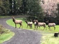 Morning Elk in Westfir, Oregon