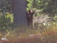 Mount Shasta Boondocking Bear