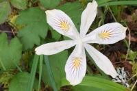 Forest Lily Westfir Oregon Wildflower