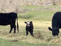 Rist Canyon Farm Calf and Cows