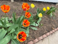 Tulips Blooming