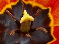 050721w_laporteBlooming Tulip 8791