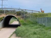 Poudre River Trail Deer