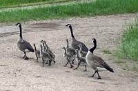 Watson Lake Goslings