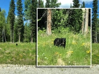 Black Bear along Alcan Highway 97 British Columbia