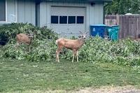 Laporte Deer