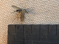 Giant Mosquito British Columbia