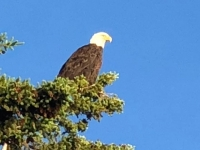 Yukon River Bridge Bald Eagle