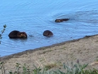 Yukon River Dam Beavers, Whitehorse YT