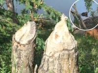 Yukon River Beaver