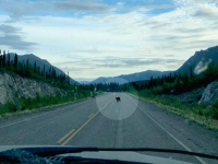 Black Bear on Alcan Highway near Burwash Landing, Yukon