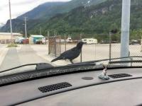 Skagway Alaska Raven on Truck Hood