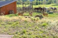 Vickers Ranch Deer