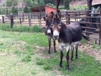Vickers Ranch Donkeys