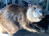 Hyder Alaska History Museum Taxidermy, Beaver Mount