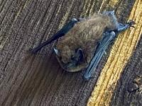 river bat