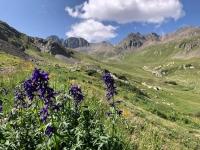 Handie's Peak Trail Wildflowers