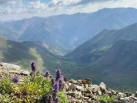 Handies Peak Wildflowers