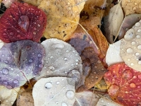 Fall leaves Colorado Aspens near Leadville