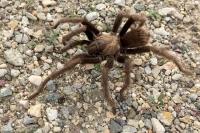 Fountain of Youth Tarantula Spider