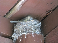 Baby birds with mom in the nest at Vickers Ranch cabin