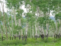 Colorado Aspen trees at upper Vickers Ranch
