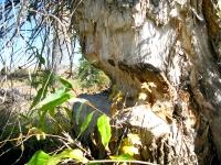 Beaver gnaws on tree near dam in Grand Teton National Park