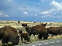 Roadside Buffalo in Grand Teton National Park - Drive Carefully!