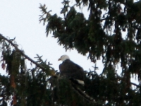 Bald Eagle perched in Rain Forest along the Hoh River