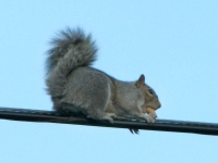 city squirrel on the high wire with peanut