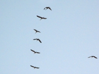 cranes in flight over Arizona ranch