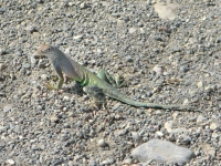 Big Bend Hot Springs Lizard