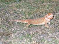 Myphie the Three Legged Sand Dragon