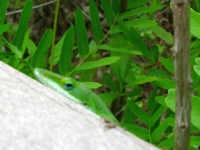 Shifty Eyed Lizard in the Big Thicket