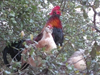 Chickens roosting in tree at Luckenbach, TX