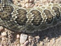 Colorado Rattlesnake Skin Detail