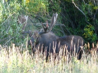 Bull Moose Down the Road from our Crystal Lakes Home