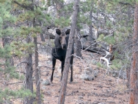 Moose in our back yard!