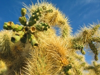 Why, AZ Desert Cacti near Organ Pipe Natl. Monument