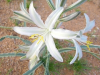 Desert Lily near Why, Arizona