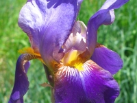 Iris blooms at Jerry's Acres